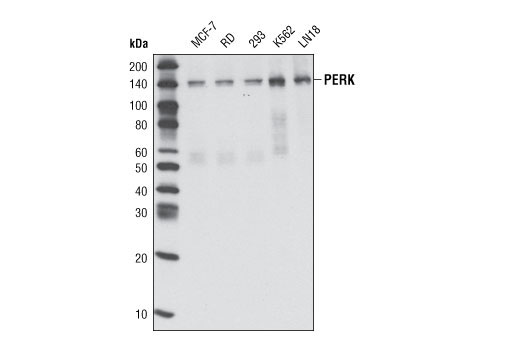 Western blot analysis of extracts from various cell types using PERK (C33E10) Rabbit mAb.