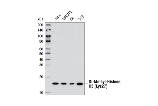 Western blot analysis of extracts from various cell lines using Di-Methyl-Histone H3 (Lys27) (D18C8) XP<sup>®</sup> Rabbit mAb.