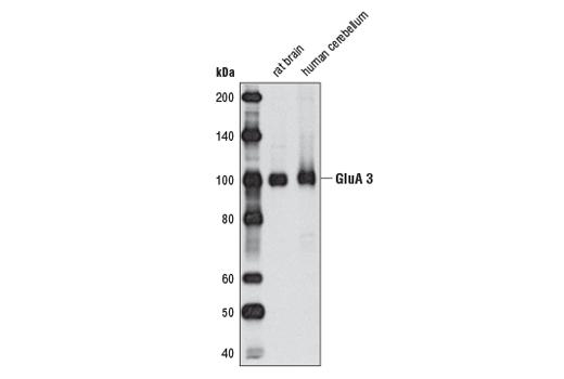 Rat Glutamate Receptor Activity