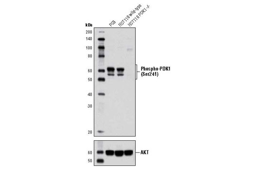 Western blot analysis of extracts from PC3 cells, HCT116 wild-type and HCT116 PDK1 -/- cells using Phospho-PDK1 (Ser241) (C49H2) Rabbit mAb (upper) and Akt (pan) (C67E7) Rabbit mAb #4691 (lower). (HCT116 wild-type and HCT116 PDK1 -/- cells were kindly provided by Dr. Bert Vogelstein, Johns Hopkins University, Baltimore, MD).