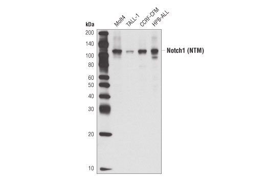Western blot analysis of extracts from various cell lines using Notch1 (C37C7) Rabbit mAb.