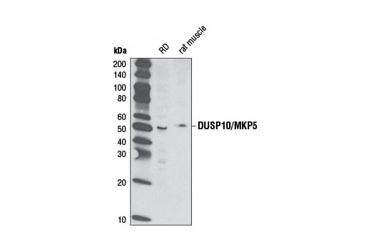 Polyclonal Antibody Western Blotting MAP Kinase Phosphatase Activity