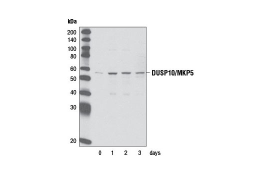 Western blot analysis of extracts from C2C12 cells, differentiated for the indicated time periods, using DUSP10/MKP5 Antibody.