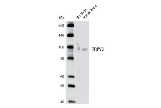 Polyclonal Antibody Negative Regulation of Hair Cycle