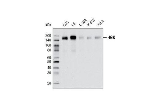 Polyclonal Antibody - HGK Antibody - Immunoprecipitation, Western Blotting, UniProt ID O95819, Entrez ID 9448 #3485, Antibodies to Kinases