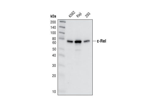 Western blot analysis of extracts from K562, Raji and 293 cells, using c-Rel Antibody.