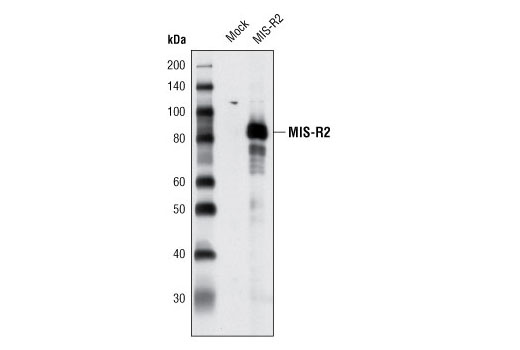 Polyclonal Antibody Immunoprecipitation Male Gonad Development