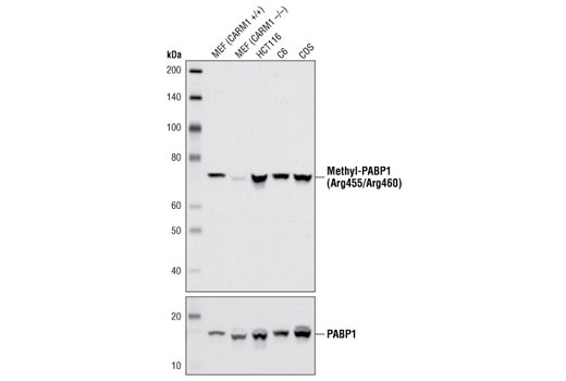 Western blot analysis of extracts from various cell lines using Methyl-PABP1 (Arg455/Arg460) (C60A10) Rabbit mAb. As expected, PABP1 methylation is decreased in CARM1 knockout (-/-) mouse embryo fibroblasts (MEFs).
