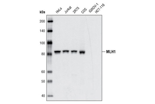 Western blot analysis of extracts from various cell types using MLH1 (4C9C7) Mouse mAb.