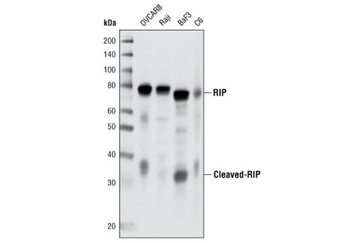 Western blot analysis of extracts from various cell lines using RIP (D94C12) XP<sup>®</sup> Rabbit mAb.