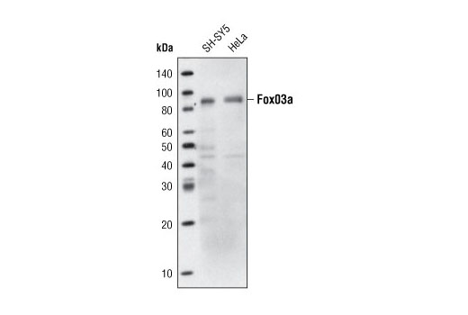 Western blot analysis of extracts from SH-SY5 and HeLa cells using FoxO3a (75D8) Rabbit mAb (Biotinylated).