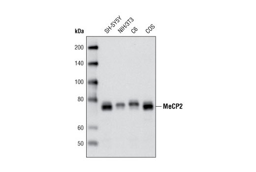 Western blot analysis of extracts from various cell lines using MeCP2 (D4F3) XP<sup>®</sup> Rabbit mAb.