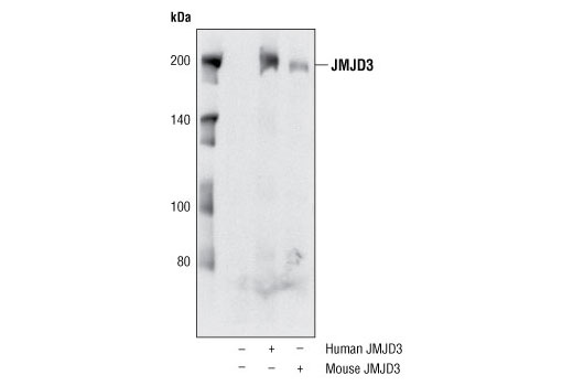 Polyclonal Antibody Mesodermal Cell Differentiation - count 20