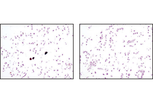 Immunohistochemical analysis of paraffin-embedded COS cells, untransfected (right) or HA-Tag transfected (left), using HA-Tag (C29F4) Rabbit mAb.