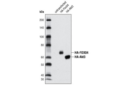 Western Blotting Image 1: HA-Tag (C29F4) Rabbit mAb