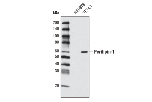 Western blot analysis of extracts from NIH/3T3 and 3T3-L1 cells using Perilipin-1 (K117) Antibody.