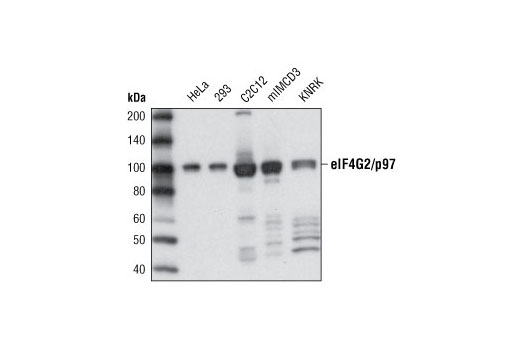 Western blot analysis of extracts from various cell types using eIF4G2/p97 (D1A10) Rabbit mAb.
