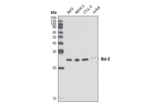 Western blot analysis of extracts from various cell lines using Bcl-2 (D17C4) Rabbit mAb (Mouse Preferred).