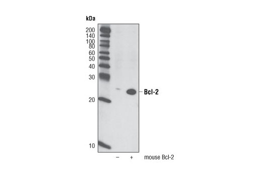 Western blot analysis of extracts from HeLa cells, mock transfected or transfected with mouse Bcl-2, using Bcl-2 (D17C4) Rabbit mAb (Mouse Preferred).