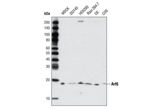 Polyclonal Antibody Western Blotting Ruffle Organization and Biogenesis