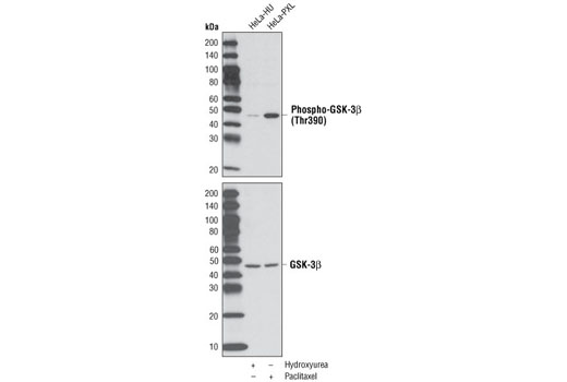 Western blot analysis of extracts from HeLa cells, either hydroxyurea-treated (4 mM, 20 hrs) to induce G1/S phase arrest or paclitaxel-treated (100 nM/ml, 20 hrs) for G2/M phase arrest, using Phospho-GSK-3β (Thr390) Antibody (upper) or GSK-3β (27C10) Rabbit mAb #9315 (lower) to show induction of phospho-GSK and equal loading.