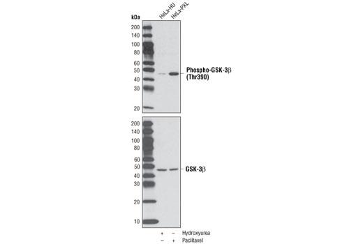 Polyclonal Antibody - Phospho-GSK-3β (Thr390) Antibody - Western Blotting, UniProt ID P49841, Entrez ID 2932 #3548 - Pi3k / Akt Signaling