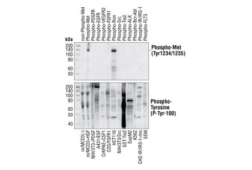 Western blot analysis of extracts from cells expressing various activated tyrosine kinase proteins, using Phospho-Met (Tyr1234/1235) (3D7) Rabbit mAb (upper) or Phospho-Tyrosine mAb (P-Tyr-100) #9411 (lower).