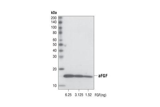 Monoclonal Antibody - Acidic FGF (11H11) Rabbit mAb - Immunoprecipitation, Western Blotting, UniProt ID P05230, Entrez ID 2246 #3139 - Developmental Biology