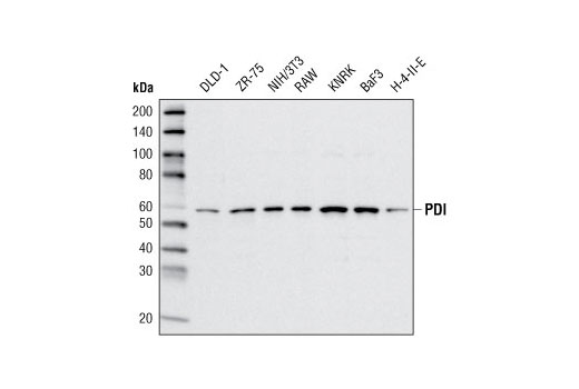 Western blot analysis of extracts from various cell types using PDI (C81H6) Rabbit mAb.
