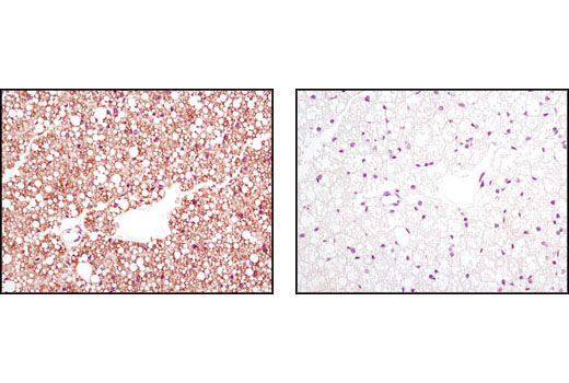 Polyclonal Antibody Immunofluorescence Immunocytochemistry Lipid Binding