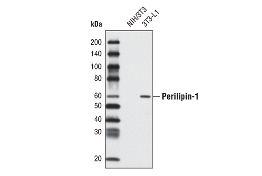 Western blot analysis of extracts from NIH/3T3 and differentiated 3T3-L1 cells using Perilipin-1 (D418) Antibody.