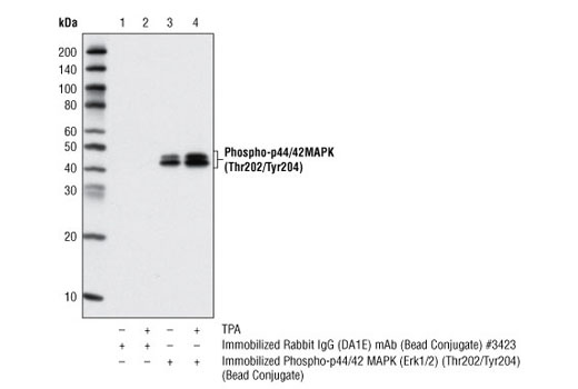 Immunoprecipitation of HeLa cell lysates, untreated or TPA-treated, using XP<sup>®</sup> Rabbit IgG (DA1E) mAb Isotype Control (Sepharose<sup>®</sup> Bead Conjugate) #3423 (Lanes 1 and 2) and Phospho-p44/42 MAPK (Erk1/2) (Thr202/Tyr204) (D13.14.4E) XP<sup>®</sup> Rabbit mAb (Sepharose<sup>®</sup> Bead Conjugate) (Lanes 3 and 4). The blot was probed using Phospho-p44/42 MAPK (Erk1/2) (Thr202/Tyr204) (E10) Mouse mAb #9106.