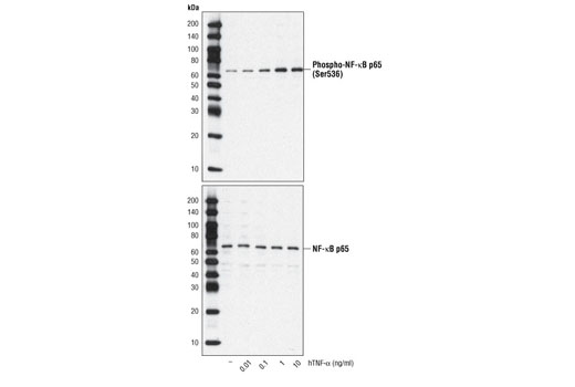 Western blot analysis of extracts from HeLa cells treated with hTNF-α for 20 minutes, using Phospho-NF-κB p65 (Ser536) (93H1) Rabbit mAb #3033 (upper) and total NF-κB p65 Antibody #3034 (lower).