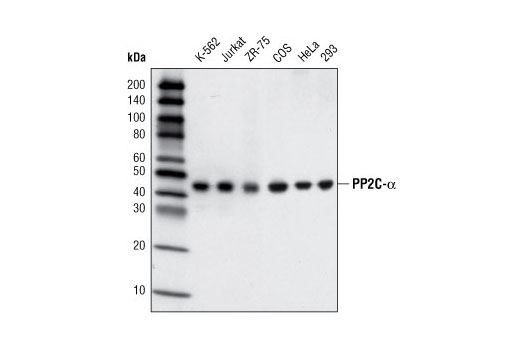 Western blot analysis of extracts from various cell lines using PP2C-α (D18C10) XP<sup>®</sup> Rabbit mAb.