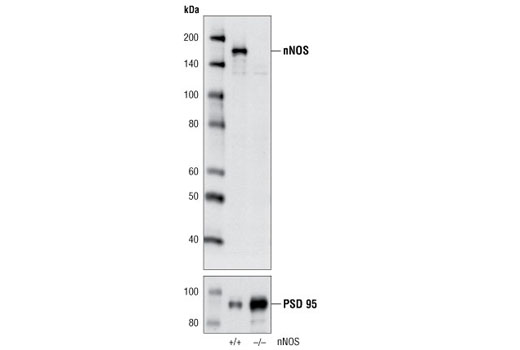 Western blot analysis of extracts from wild-type (+/+) and nNOS null (-/-) mouse brain using nNOS (C7D7) Rabbit mAb (upper) and PSD95 Antibody #2507 (lower).