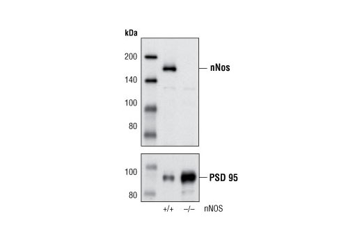 Western blot analysis of extracts from wild-type (+/+) and nNOS null (-/-) mouse brain using nNOS (C12H1) Rabbit mAb (upper) and PSD95 Antibody #2507 (lower).
