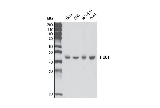 Western blot analysis of extracts from various cell types using RCC1 Antibody.