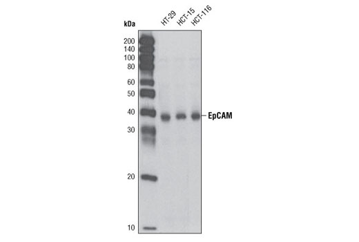 Western blot analysis of extracts from HT-29, HCT-15 and HCT-116 cells using EpCAM Antibody.