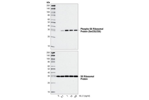 Growth Factors and Cytokines - Human Interleukin-2 (hIL-2), UniProt ID P60568, Entrez ID 3558 #8907 - #8907