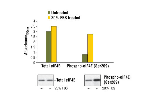 Figure 1. Treatment of serum-starved HeLa cells with 20% FBS stimulates phosphorylation of eIF4E at Ser209, detected by the PathScan<sup>®</sup> Phospho-eIF4E (Ser209) Sandwich ELISA Kit #7938, but does not affect the levels of total eIF4E detected by PathScan<sup>®</sup> Total eIF4E Sandwich ELISA Kit #7940. HeLa cells (80-90% confluent) were serum-starved over night and then treated with 20% FBS at 37ºC. The absorbance readings at 450 nm are shown in the top figure, while the corresponding western blots using eIF4E Antibody #9742 (left panel) or Phospho-eIF4E Antibody (Ser209) #9741 (right panel) are shown in the bottom figure.