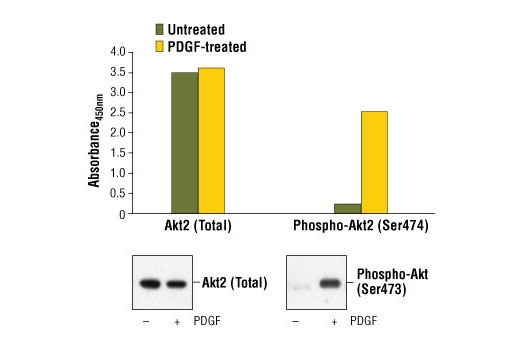 Figure 1: Treatment of NIH/3T3 cells with PDGF #9909 stimulates phosphorylation of Akt2 at Ser474, detected by PathScan<sup>® </sup>Phospho-Akt2 (Ser474) Sandwich ELISA Kit (Mouse Preferred) #7932, but does not affect levels of total Akt2 protein detected by PathScan<sup>®</sup> Total Akt2 Sandwich ELISA kit (Mouse Preferred) #7930. The absorbance readings at 450 nm are shown in the top figure, while the corresponding western blots using Akt2 (5B5) Rabbit mAb #2964 (left panel) and Phospho-Akt (Ser473) (193H12) Rabbit mAb #4058 (right panel) are shown in the bottom figure.