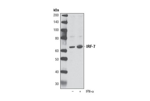 Western blot analysis of extracts from DLD-1 cells, untreated or treated overnight with IFN-α (100 nM), using IRF-7 Antibody.