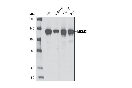 Western blot analysis of extracts from various cell types using MCM2 (D7G11) XP<sup>®</sup> Rabbit mAb.