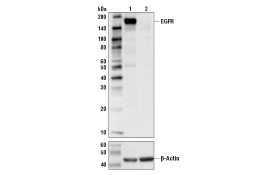 Western blot analysis of HeLa cell extracts, untreated (-) or EGFR knock-out (+) using EGF Receptor (D38B1) XP® Rabbit mAb #4267 (upper) or β-Actin (D6A8) Rabbit mAb #8457 (lower).