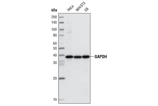 Western blot analysis of extracts from HeLa, NIH/3T3 and C6 cells using GAPDH (14C10) Rabbit mAb (Biotinylated).