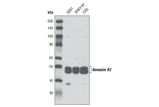 Western blot analysis of extracts from U251, SHSY-5Y and COS cells using Annexin A7 Antibody.