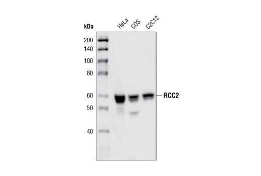 Western blot analysis of extracts from HeLa, COS and C2C12 cells using RCC2 Antibody.