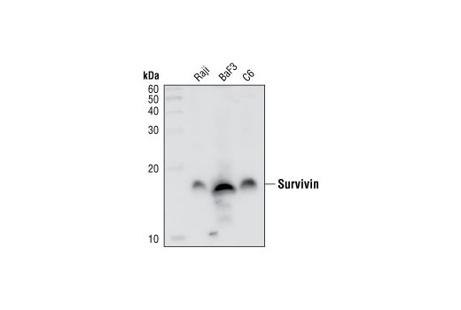 Western blot analysis of lysates from Raji (human), BaF3 (mouse) and C6 (rat) cell lines using Survivin (71G4B7E) Rabbit mAb.
