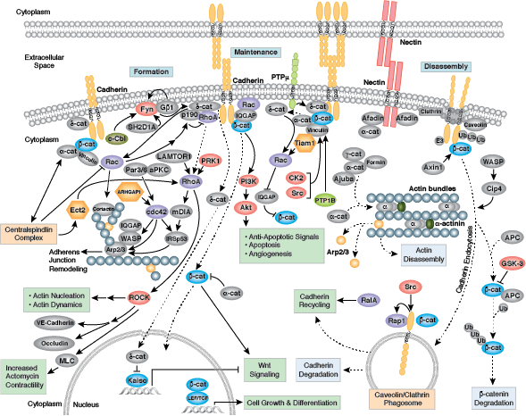 Adhesion And Extracellular Matrix Resources