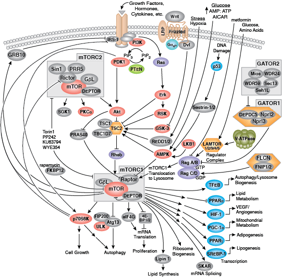 mTOR Signaling | Cell Signaling Technology on phosphatidylinositol 3-kinase pathway, insulin pathway, jak 1 2 3 signaling pathway, pi 3-kinase pathway, adenylate cyclase pathway, il-6 signaling pathway, thyroid pathway,